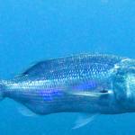 Pesca al Dentice Spinning