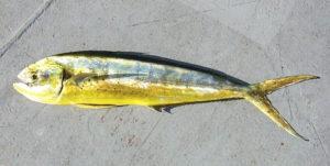 Pesca alla Lampuga - Guida