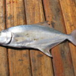 Pesca alla Leccia Spinning