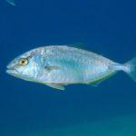 Pesca alla Ricciola - Guida
